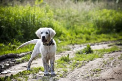 Fun golden retriever dog playing in the mud