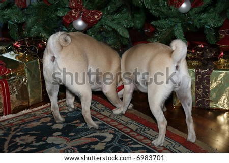 fun picture of pug dog's back ends under christmas tree