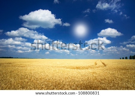 Fun sun and field full of wheat by summertime.