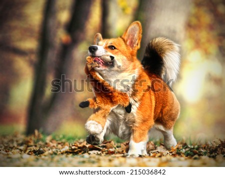 fun welsh corgi dog running