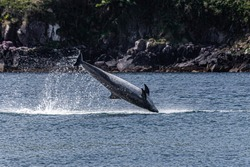 Fungie-The Dingle Dolphin-resident in Dingle Harbour Co Kerry Ireland since 1983