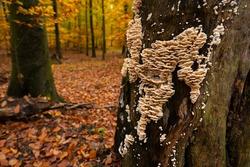 Fungus growths root sponge on a tree stump. Root sponge. Mushroom growths on a dry tree trunk. Rotting wood. Forest mushrooms.