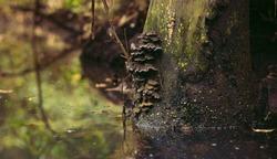 Fungus on Tree Trunk in Swamp