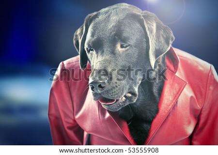 Funky Shot of a Disco Dancing Chocolate Labrador