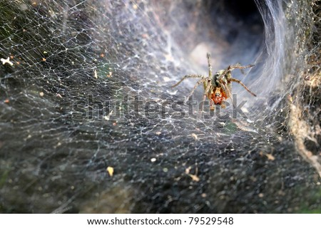 Funnel Web Weaver Grass Spider out on his funnel web - horizontal makro photo