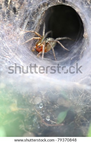 Funnel Web Weaver Grass Spider out on his funnel web - vertical makro photo