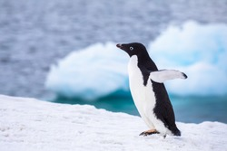 Funny Adelie Penguin running or waddling on iceberg with excitement in Antarctica, frozen landscape with snow and ice, Antarctic wildlife