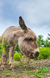 Funny adorable donkey grazing on verdant lawn in peaceful summer farmland under blue sky