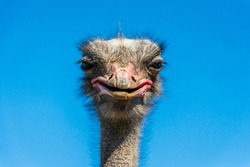 Funny African ostrich. Smile of an animal