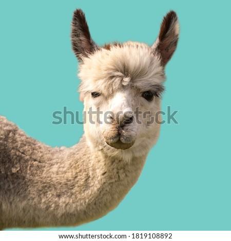 Funny alpaca llama isolated on blue background
