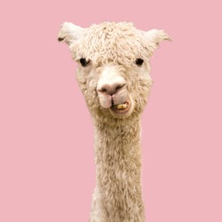 Funny alpaca on pink background