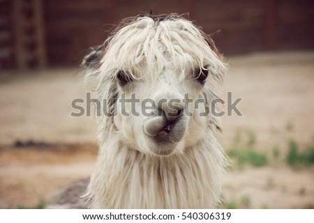 funny alpaca smile and teeth; white llama close-up