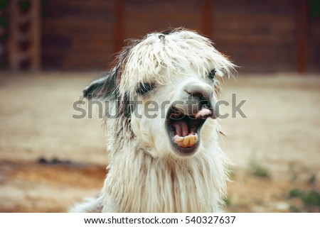 funny alpaca smile and teeth; white llama close-up