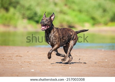 Funny american staffordshire terrier dog running on the beach