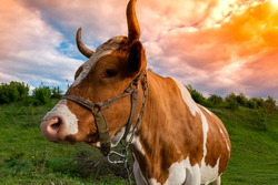 Funny and beautiful friendly brown and white cow with chain and harness. Close-up portrait of the cow on pasture. Ukraine, spring 2020.