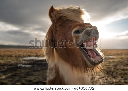 funny and crazy icelandic horse