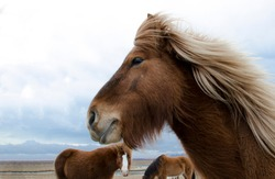 Funny and crazy Icelandic horse. the dark blue Icelandic sky