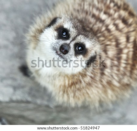 Funny and cute suricate (meerkat) - stock photo