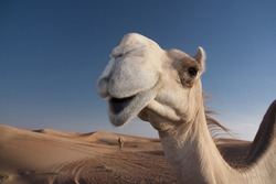 Funny and pretty smiling camel in the red sand dune desert in the United Arab Emirates