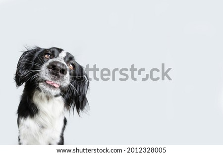 Funny and silly puppy dog sticking tongue out looking at camera. Isolated on gray background Stock photo ©