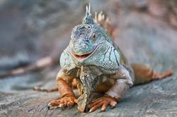 Funny animal lizard iguana smile.