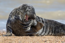 Funny animal meme image. Cute friendly happy seal with a smile and wave saying hi to the camera. Wild grey seal from Horsey saying hello and waving. Hilarious facial expression of coy bashful flirting