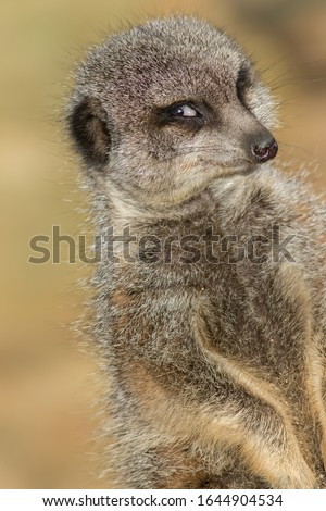 Funny animal meme image of photogenic narcissistic meerkat smiling for the camera. Camera-friendly face of cute vain animal posing. Flirting expression of self-confidence. Happy photobombing. Stock photo ©