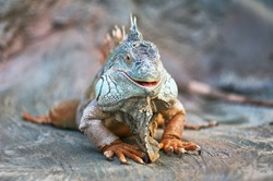 Funny animals lizard iguana. Smile face funny lizard.