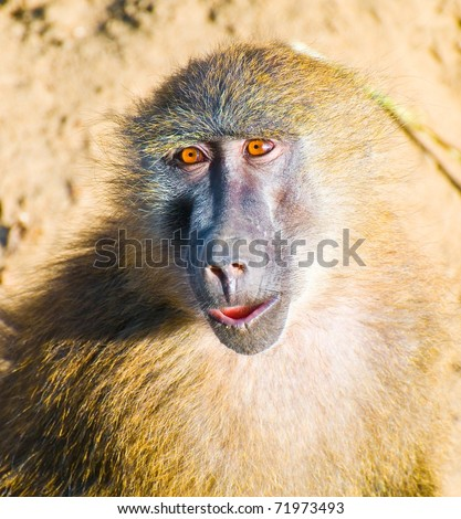 funny baboon portrait - stock photo
