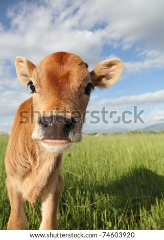 funny baby calf close-up in grassy meadow