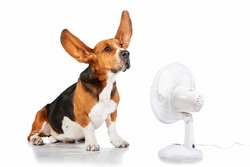 Funny basset hound with flying ears up sitting near the fan