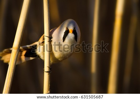 Funny, bearded bird. Nature background.