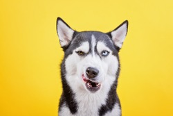 Funny bi-eyes dissatisfied licking husky on a yellow studio background, the concept of dog emotions
