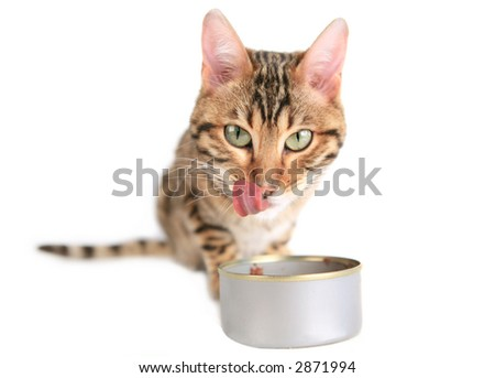 Funny big eyed cat eating food and licking lips - stock photo