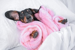 Funny black and tan dachshund dog in warm pink pajamas or bathrobe is lying in bed under soft blanket at home, going to sleep after hot relaxing shower.