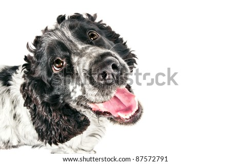 Funny black and white english cocker spaniel looking up