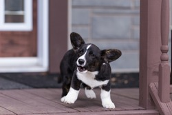 Funny black and white Welsh Corgi Cardigan puppy barking and jumping while guarding its home