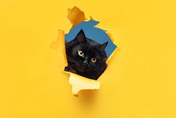 Funny black cat looks through ripped hole in yellow paper. Peekaboo. Naughty pets and mischievous domestic animals. Copy space. Blue background.