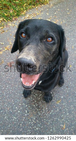 funny black dirty labrador is sitting on the street and looking up to the camera #1262990425