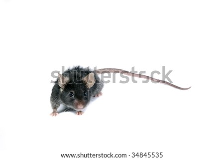 Funny black mouse isolated on white.
