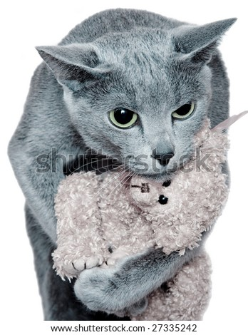 funny blue russian cat holds a toy
