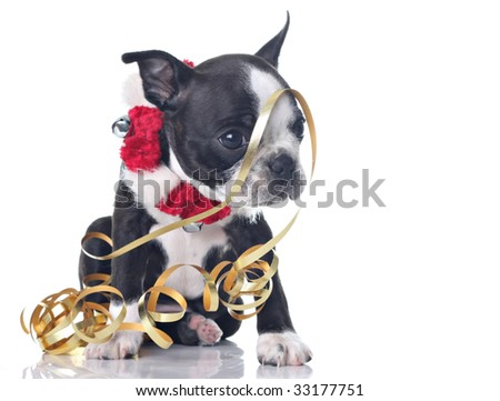 Funny Boston Terrier puppy dressed up for Christmas and tangled up in ...
