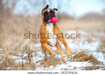 funny boxer dog with a ball
