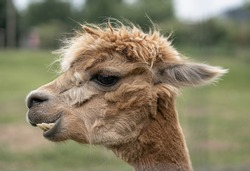 Funny brown alpaca portrait photo on a soft green background. Hairy with big teeth.