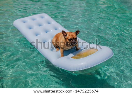 funny brown french bulldog sitting on an inflatable pad and relaxing at the swimming pool. Holidays, relax and vacation with dogs concept #1475223674