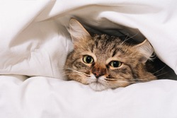 Funny brown striped cute green-eyed kitten lies under a white blanket and sheets. Close-up cat in bed. Brown cat lies in white bedding. Cat in bed concept
