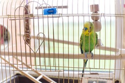 Funny budgerigar in a cage at the window. Green budgie in birdcage. Home's pet.