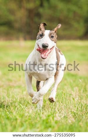 Funny bullterrier dog running in summer