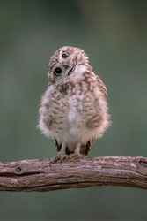 Funny Burrowing owl (Athene cunicularia) tilts his head in curiosity as he spots a photographer taking his picture.