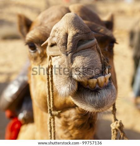 Funny camel face Desert Festival, Jaisalmer, India
